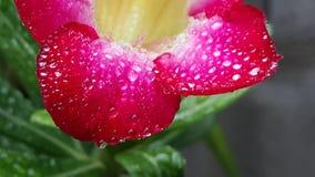 Röda Azalea Flower Royaltyfri Fotografi