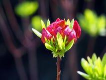 Röda azaleaknoppar Arkivfoton