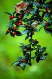röda bär Royaltyfri Fotografi