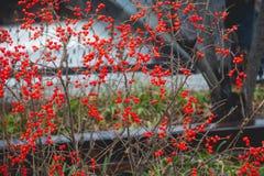 röda bär Arkivfoto