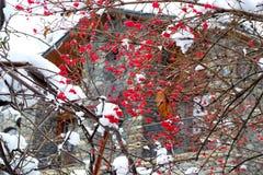 Röda bär av bergaskaen under snön Royaltyfri Fotografi