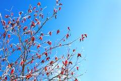 Röda bär av enhöft i vintern i snö Arkivbilder