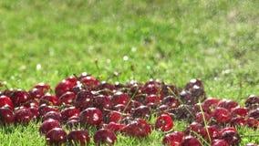 Röda bär av mogna körsbär faller på det gröna gräset i ultrarapid stock video