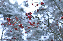Röda bär av rönnen på bakgrunden av Pine samlar ihop, den selektiva fokusen minimalistic monokromt landskap Arkivfoto