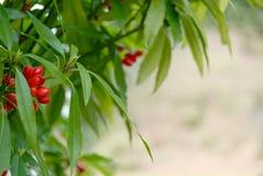 Röda bär av växtdaphnemezereumen royaltyfria bilder