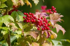 Röda bär av viburnumen arkivfoton
