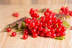 Röda bär av viburnumen Fotografering för Bildbyråer