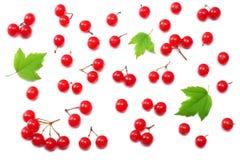 Röda bär av Viburnumpilträ med det gröna bladet som isoleras på bästa sikt för vit bakgrund Arkivfoton