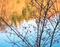 Röda bär bredvid Buen och Yellowet River Fotografering för Bildbyråer