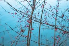 Röda bär bredvid floden Arkivbild
