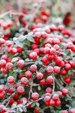 Röda bär (cotoneasterhorizontalis) under frost Royaltyfria Foton
