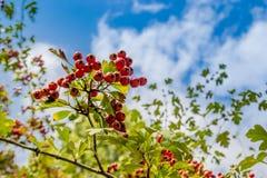 Röda bär för hagtorn royaltyfria bilder