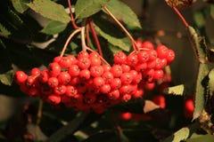 Röda bär för ljus höst på en buske i nedgång Royaltyfri Fotografi