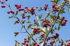 Röda bär för skogsmarkhagtorn på filialer Vektor Illustrationer