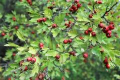 Röda bär för skogsmarkhagtorn på filialer Royaltyfri Bild
