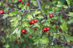 Röda bär för skogsmarkhagtorn på filialer Fotografering för Bildbyråer