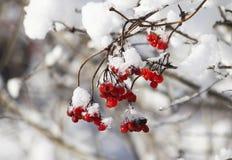 Röda bär för Viburnum i snö royaltyfri fotografi