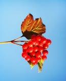 Röda bär för Viburnum på bakgrund för blå himmel royaltyfri fotografi