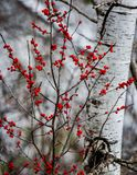 Röda bär framme av björkträdet faller ljusa färger för abstrakt höst halvt för trevlig modell för leaves rött arkivbilder
