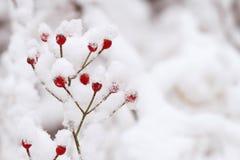 Röda bär i den vita insnöade vintern arkivbilder