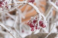 Röda bär i frost Arkivbilder