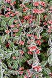 Röda bär i hoarfrost Royaltyfria Bilder
