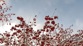 Röda bär i snön mot den blåa himlen Arkivbilder