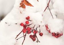 Röda bär i snowen Arkivfoto