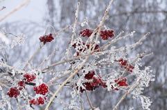 Röda bär i vinter fryst träd Arkivbilder
