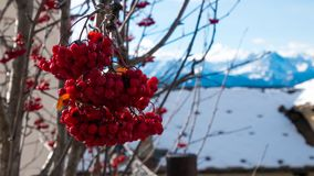 Röda bär med snöig bakgrund fotografering för bildbyråer