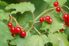 Röda bär på den lövrika busken Royaltyfri Foto