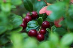 Röda bär på en bakgrund av gröna sidor Arkivfoto