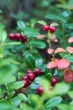Röda bär på en bakgrund av gröna sidor Arkivfoton