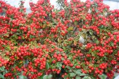 Röda bär på en buske royaltyfri bild
