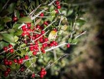 Röda bär på en buske royaltyfri fotografi
