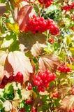 Röd bärviburnum Arkivfoto