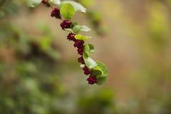 Röda bär på en våt växt med gröna blad och en suddig backgr arkivbilder