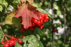 röda bär på ett träd royaltyfria bilder