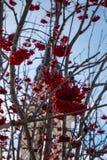Röda bär på snöig bakgrund royaltyfri fotografi