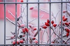 Röda bär som täckas med rimfrost Royaltyfri Foto