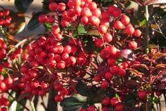 Röda bär som tas i morgonljuset fotografering för bildbyråer