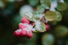 Röda bär under snö, snö, bakgrund arkivfoto