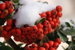 Röda bär under snön fotografering för bildbyråer