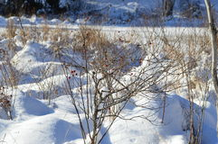 Röda bär under snön Arkivbild