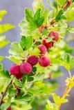 Röda bärkrusbär på busken med grön leaves_ royaltyfri bild