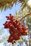 Röda bönor för kaffe Fotografering för Bildbyråer