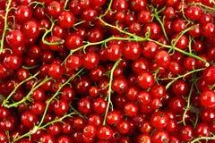 röda bakgrundsvinbär Royaltyfria Foton
