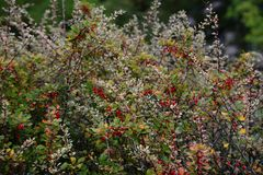 Röda barberrybär på en buske med gröna orange gula höstsidor Berberisthunbergii royaltyfria foton