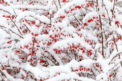 Röda barberrybär under snön under ett snöfall Arkivbilder