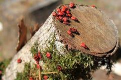 röda beatles Fotografering för Bildbyråer
